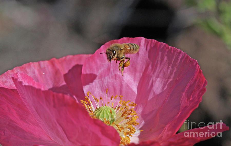 Honeybee Photograph - Honeybee by Gary Wing