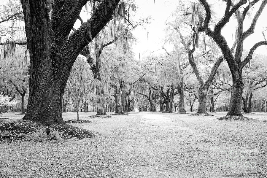 Infrared Allee Of Oaks Photograph