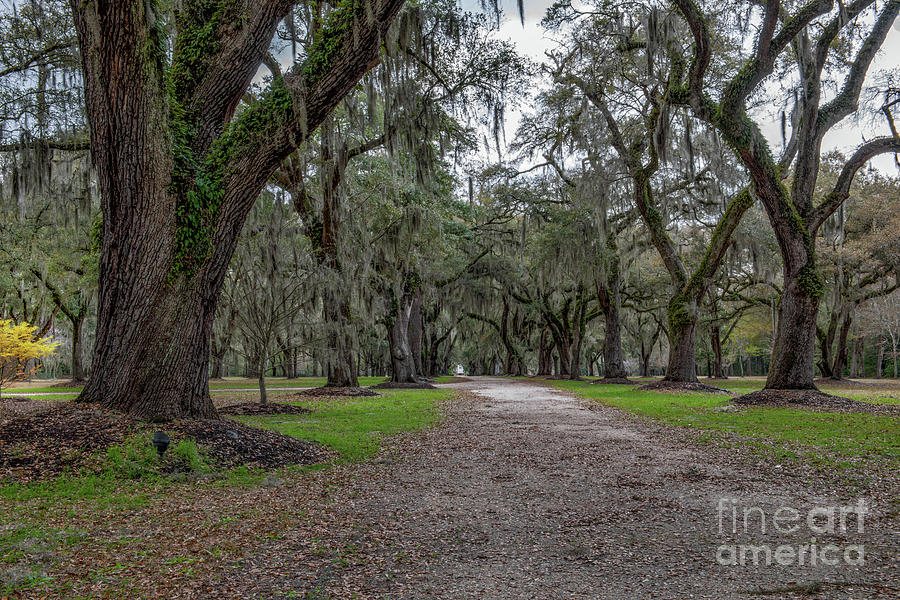 Fenwick Hall Castle Allee Path - Charleston South Carolina Photograph