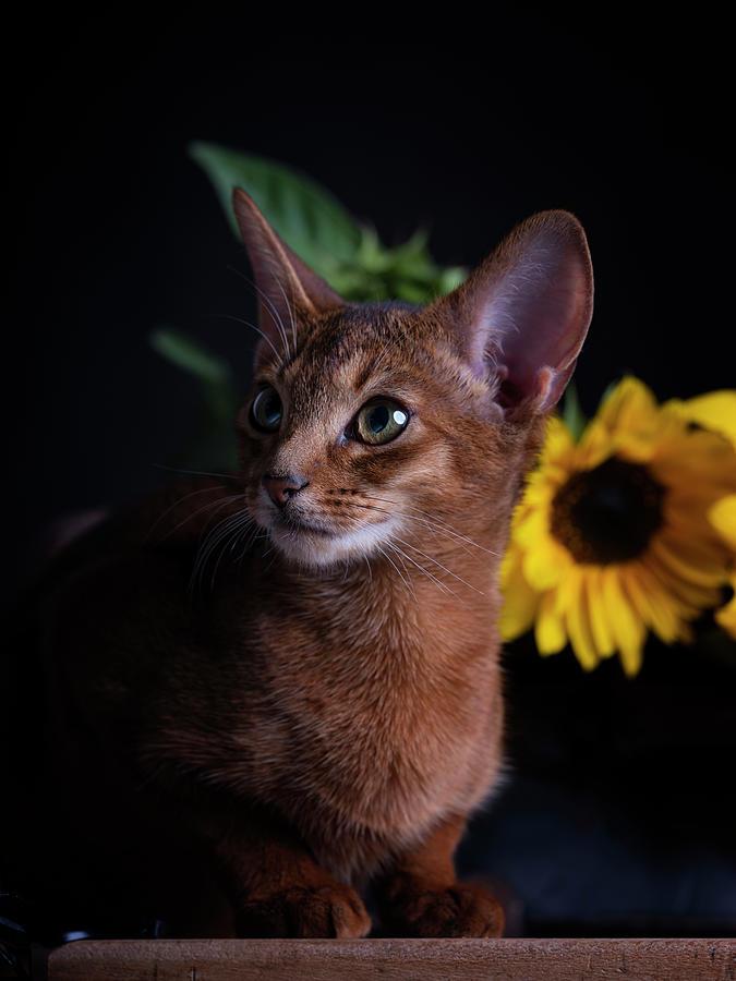 Abyssinian Kitten Photograph