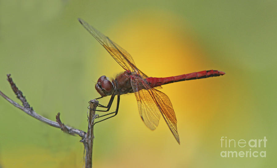 Dragonfly Photograph - Band-winged Meadowhawk by Gary Wing