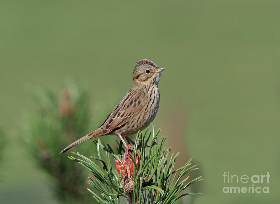 Lincoln's Sparrow Photograph - Lincolns Sparrow by Gary Wing