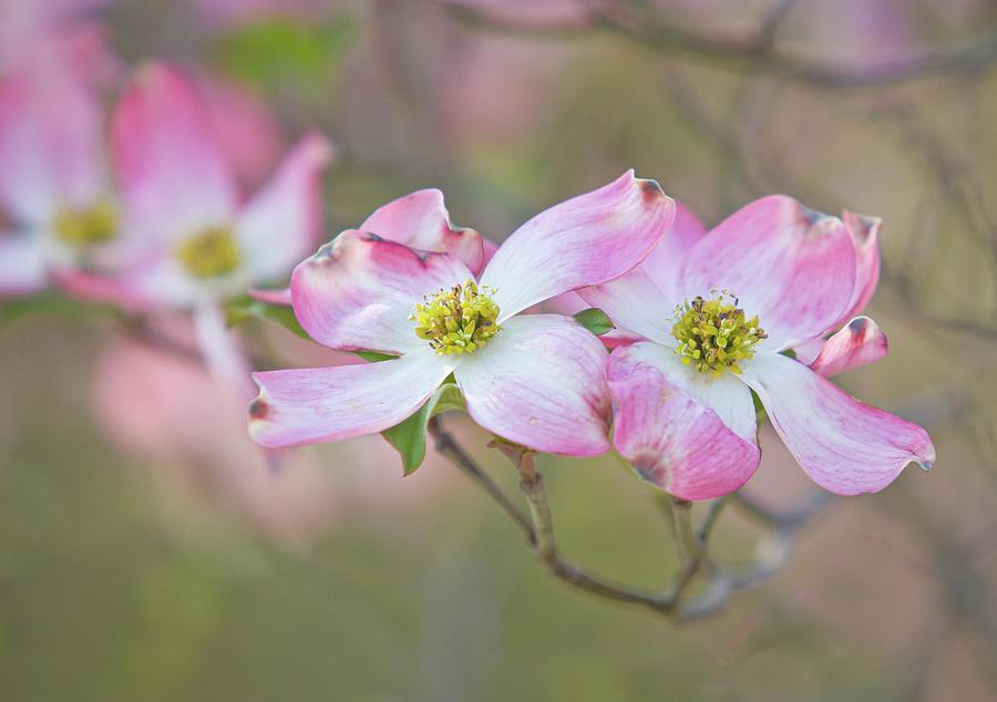 Pink Dogwoods Photograph
