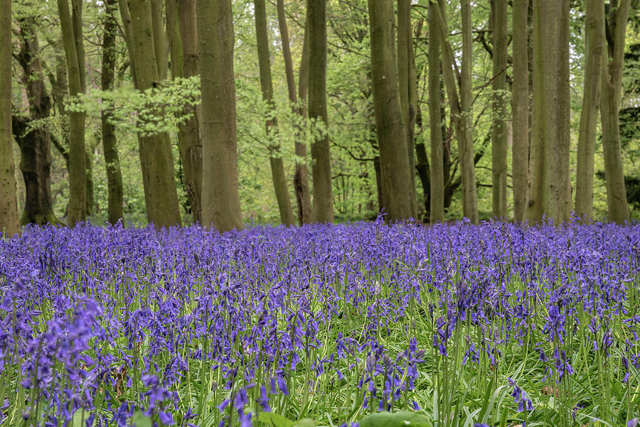 Lovely Soft Spring Light In Bluebell Woodland With Vibrant Color Photograph