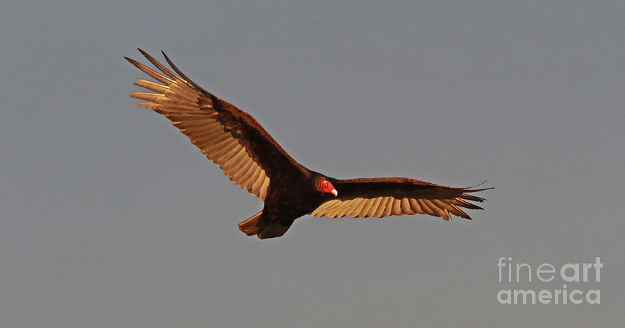 Turkey Vulture Photograph - Turkey Vulture by Gary Wing
