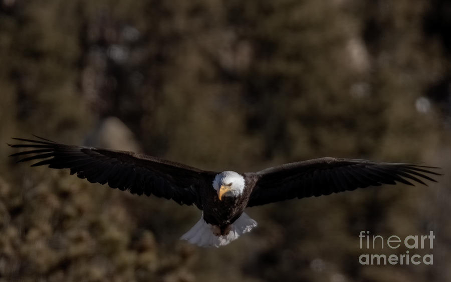 Bald Eagles In Eleven Mile Canyon Photograph