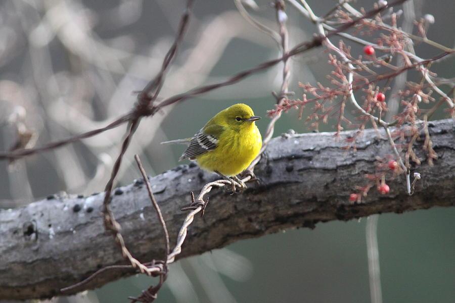 Pine Warbler Photograph