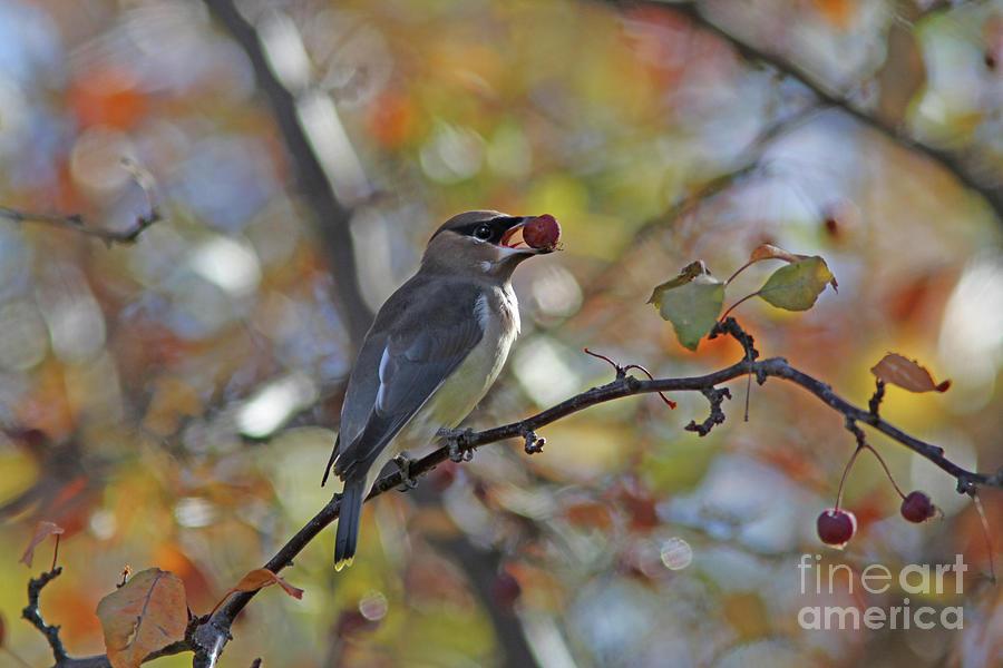 Cedar Waxwing Photograph - Cedar Waxwing by Gary Wing
