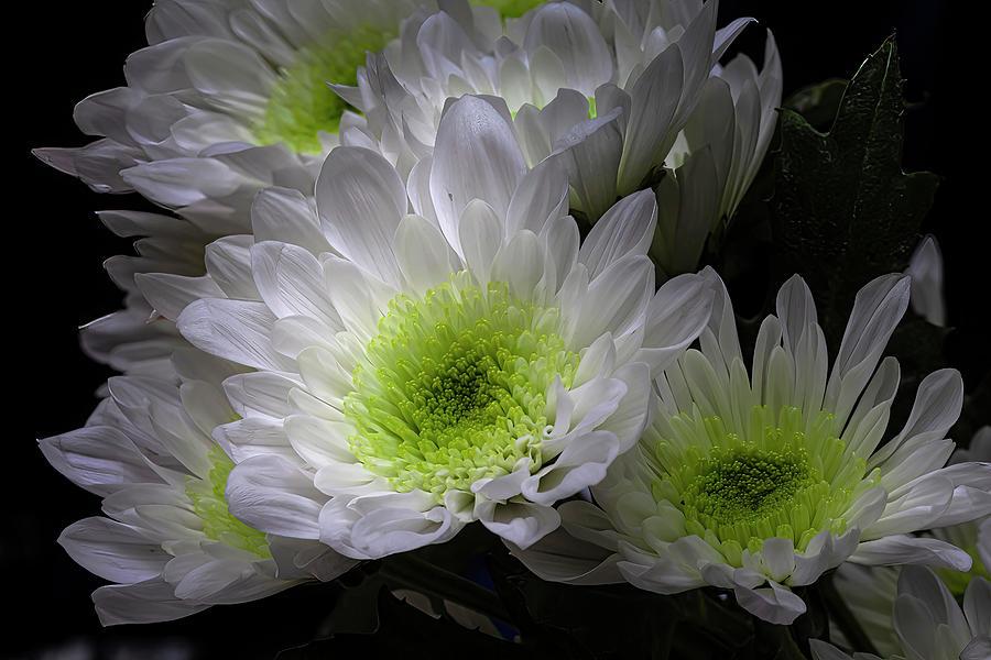 Chrysanthemum Photograph