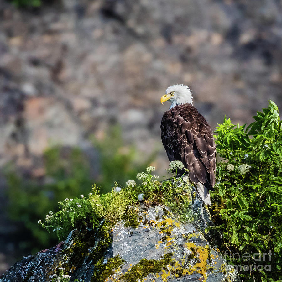 Bald Eagle sitting on the rock by Lyl Dil Creations