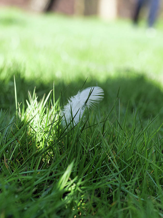 A Bird Feather In The Grass Photograph