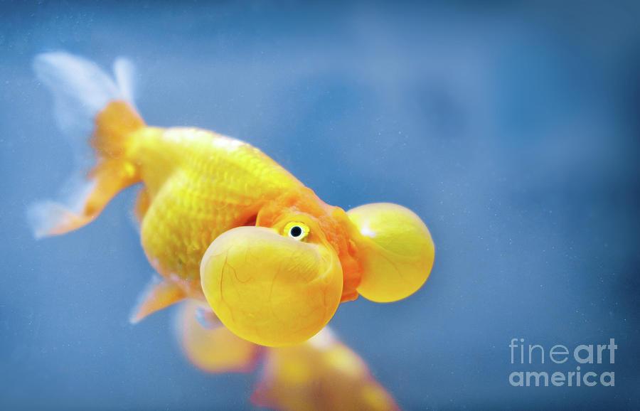 A bubble eye fish goldfish close up by Luca Lorenzelli