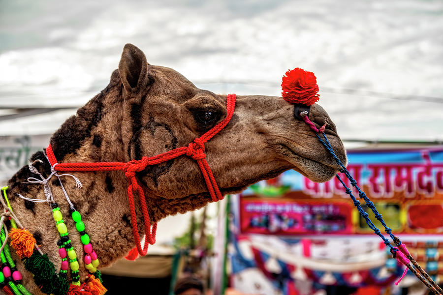 A Camel At the Camel Fair by Kay Brewer