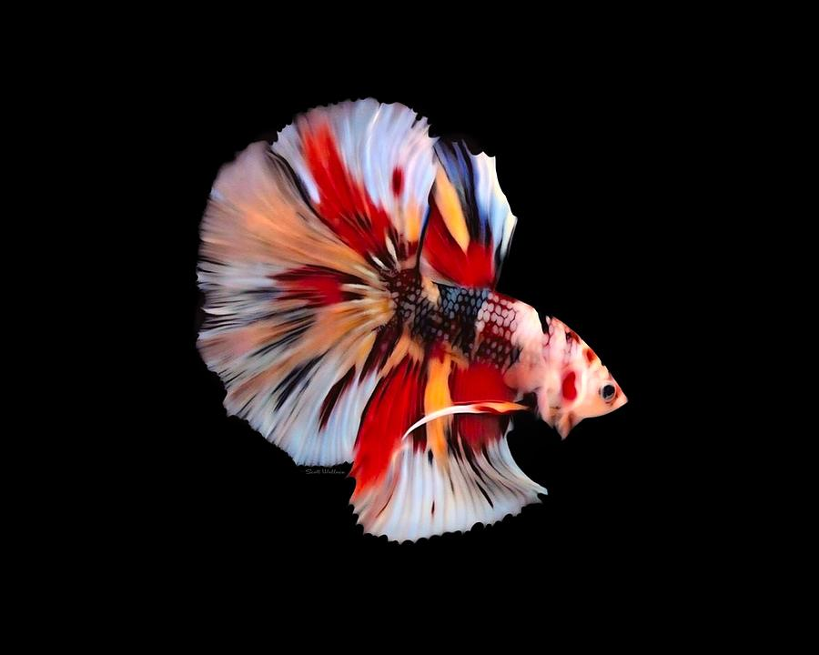 Fish Digital Art - Candy Koi  Rosetail Betta Fish On Black Background by Scott Wallace Digital Designs