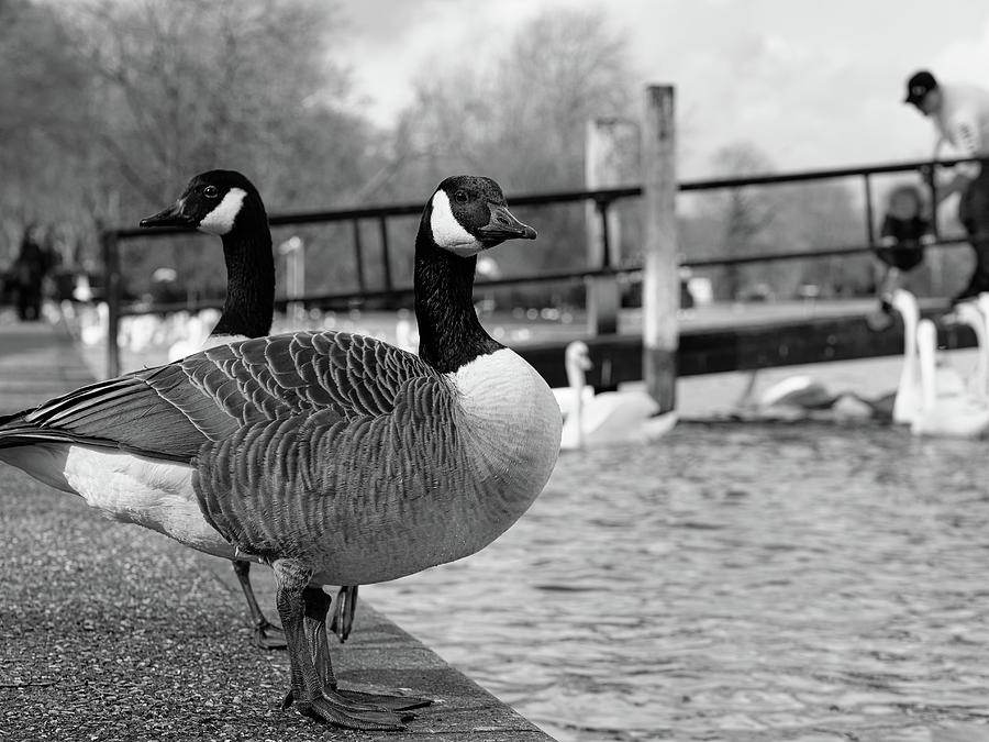 A Couple Of Canadian Geese On River Thames Embankment In Windsor, Berkshire, England Photograph