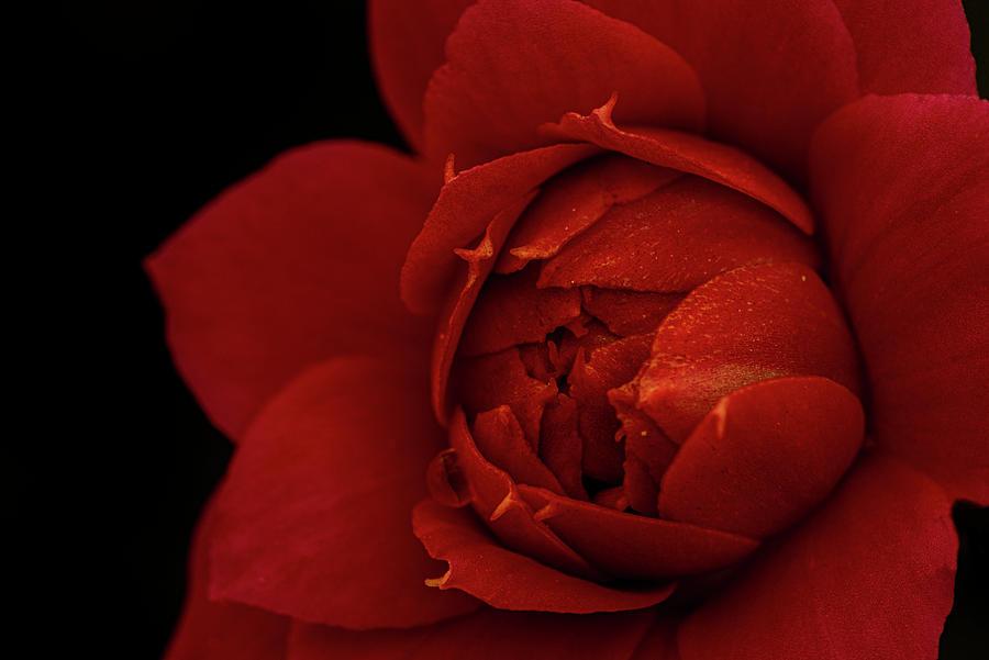 A Curious Kalanchoe Flower On A Black Background Photograph