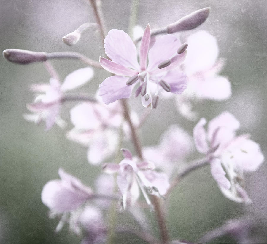 A Fireweed flower on a meadow Photograph by Sami Hurmerinta