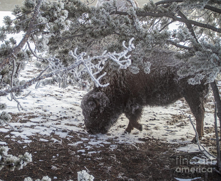 Bison Photograph - A Frosty Bison Calf In Yellowstone by L Bosco