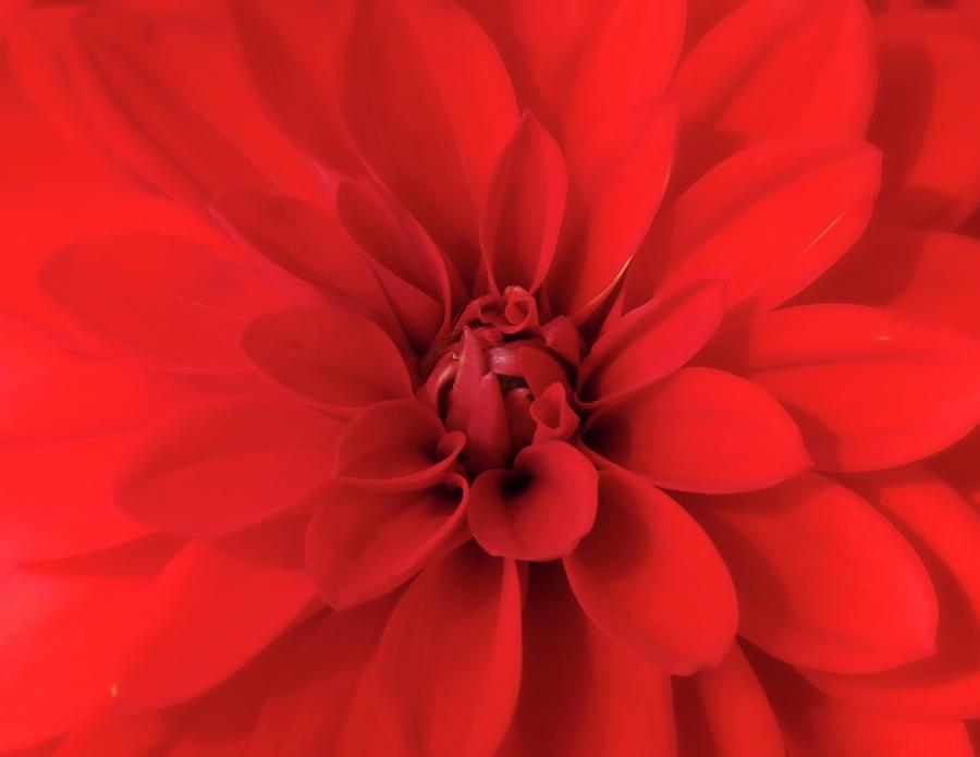 A Glorious Red Dahlia Closeup Photograph