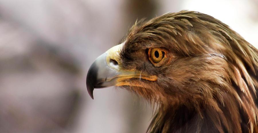 A Golden Eagle In Profile, Huachuca Mountains, Az, Usa Photograph