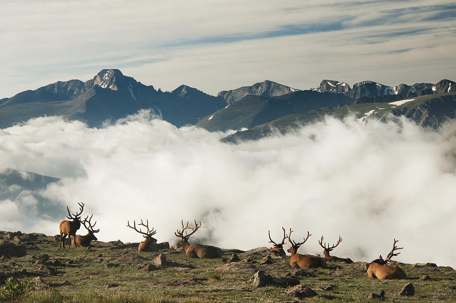 A group of bull elk (Cervus canadensis) rest in a rocky alpine meadow with Longs Peak in the background in Rocky Mountain National Park Photograph by Carl Johnson / Design Pics