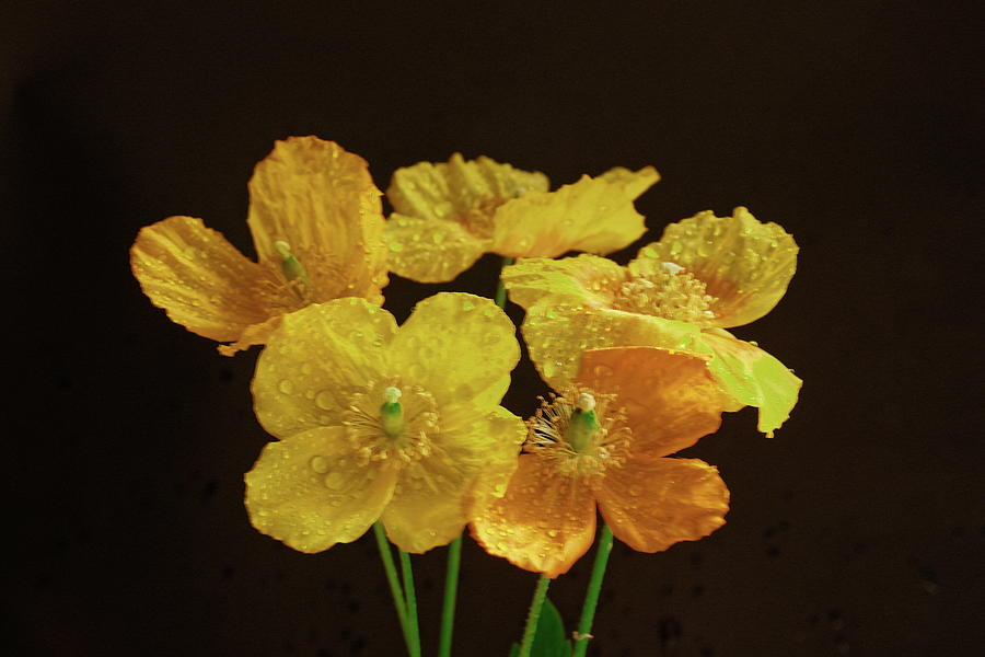 A Group Of Welsh Poppies Photograph