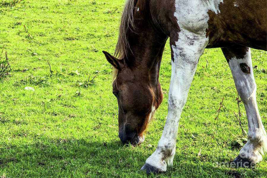 A Horse Feeding, In Heywood, Grt Manchester, England Photograph