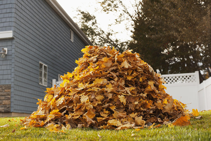 A huge pile of raked fallen autumn leaves in a yard. Photograph by Mint Images