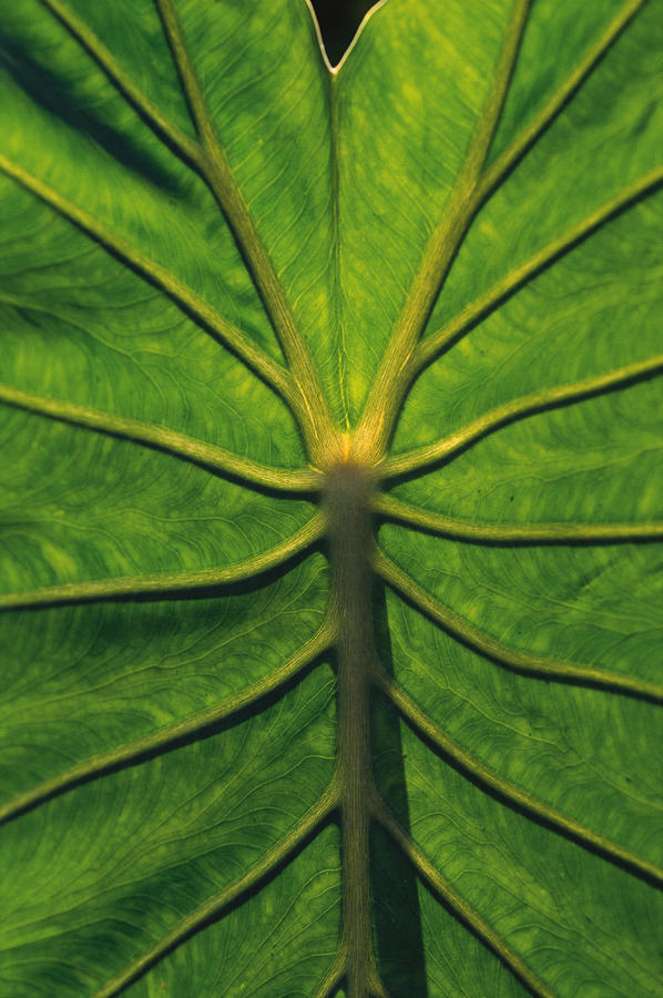 A Large Green Veiny Leaf Photograph by Rubberball/Heinz Hubler
