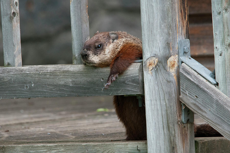 Groundhog Photograph - A Groundhog Hang-out by Lieve Snellings