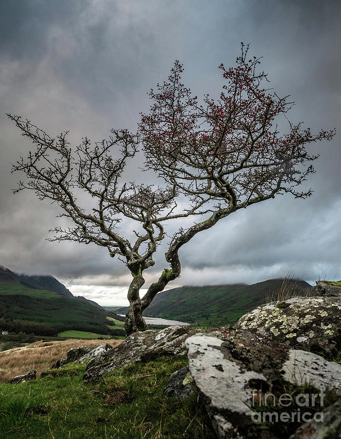 A Lone Tree In The Snowndonia National Park Photograph