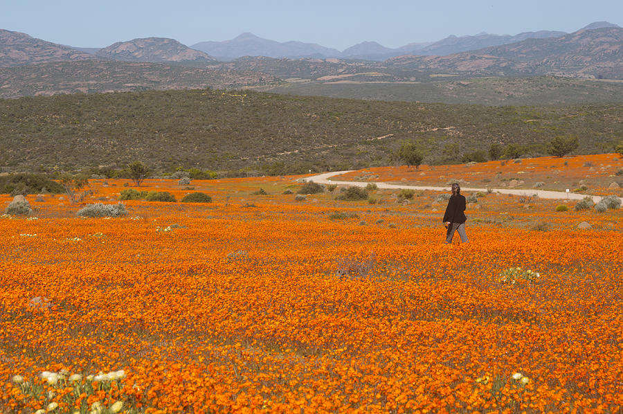 A lone woman walks through a large field of orange Namaqualand Daisies (Dimorphotheca spp) looking out towards the Kamiesberg mountains, South Africa Photograph by Anthony Grote
