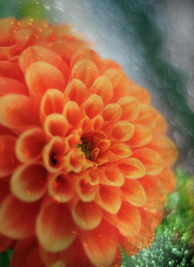 A Magical Orange Dahlia Mixed Media