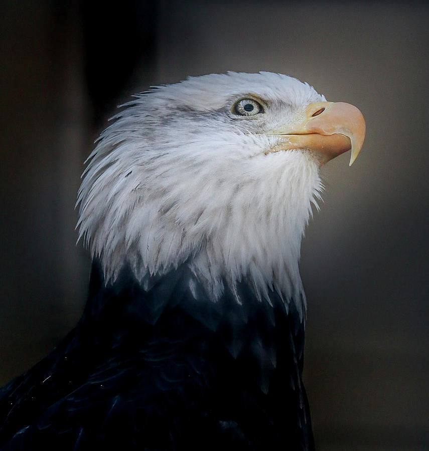A mighty Bald Eagle by Ronald Santini