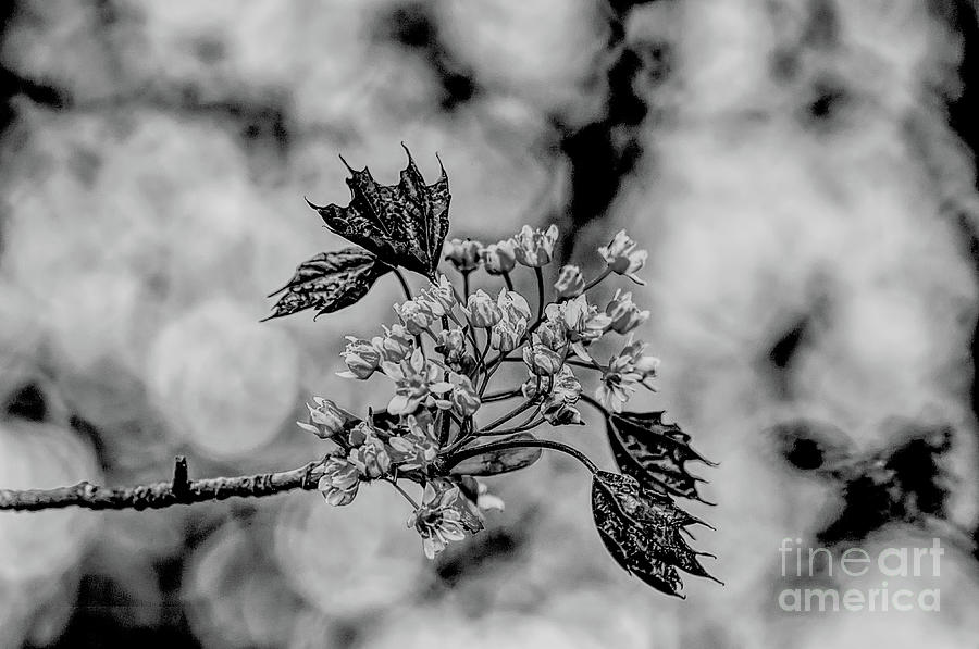 A Monochrome Red Maple Bloom Photograph