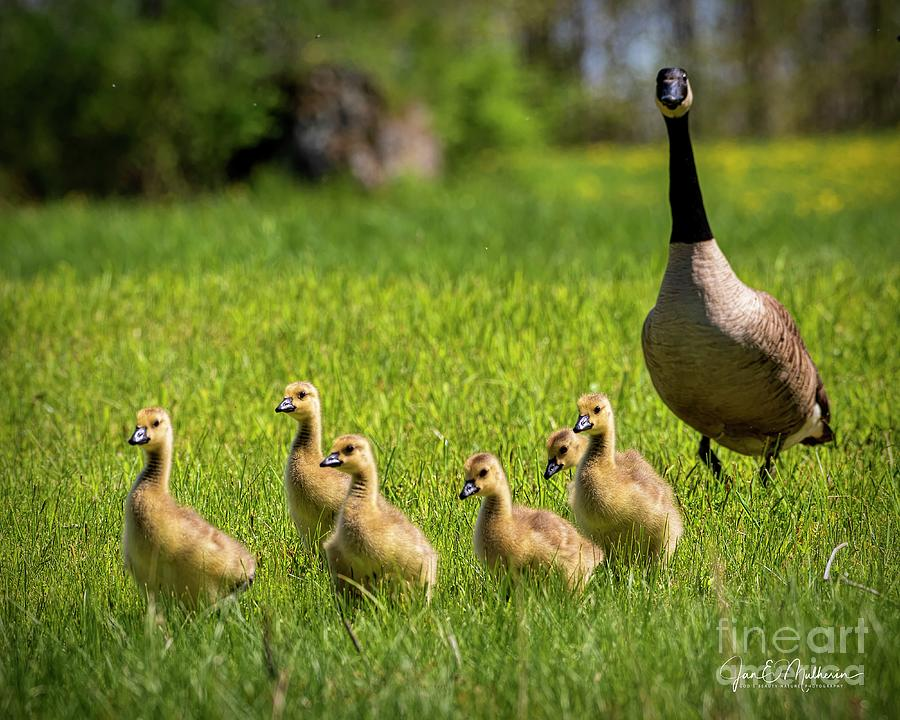 A Mother And Her Goslings Photograph