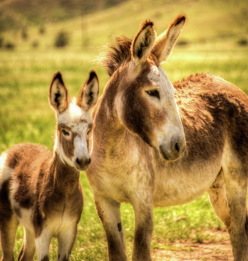 A Pair Of Donkeys Photograph