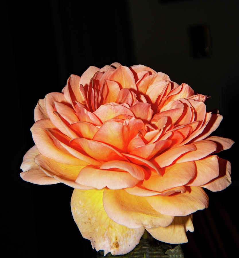 A Peach Rose By Any Other Name 2 8192020 0813 Photograph by David Frederick