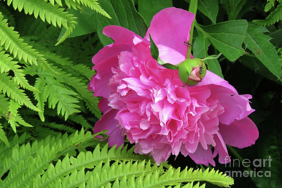 A Peony, A Fern And An Ant Photograph