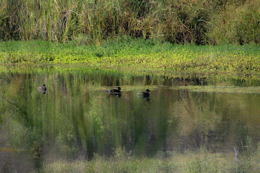 A Pied-billed Grebe Mirage Photograph