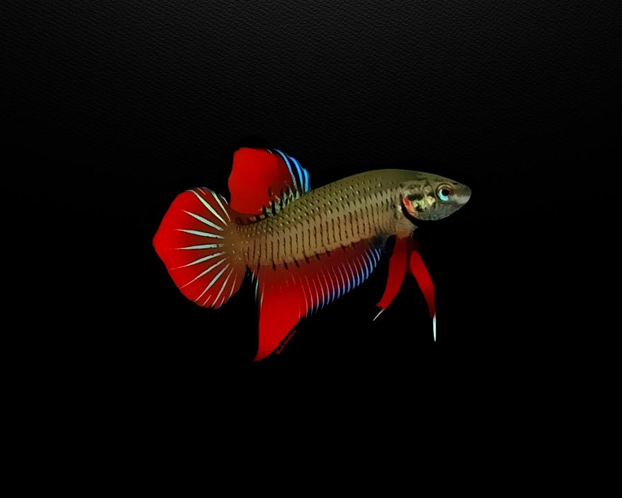 Red Spadetail Betta Fish On Black Background Digital Art