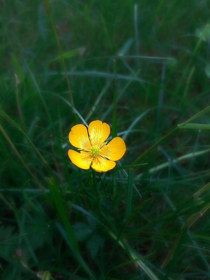 Still Life Photograph - A Single Buttercup Flower by Jussi Laasonen