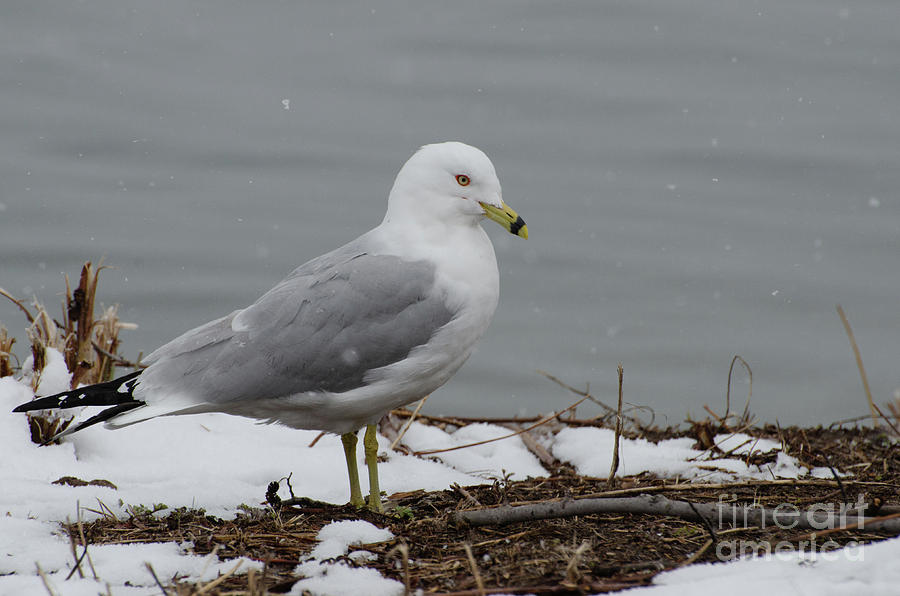 A Snow-gull by The Ford Family