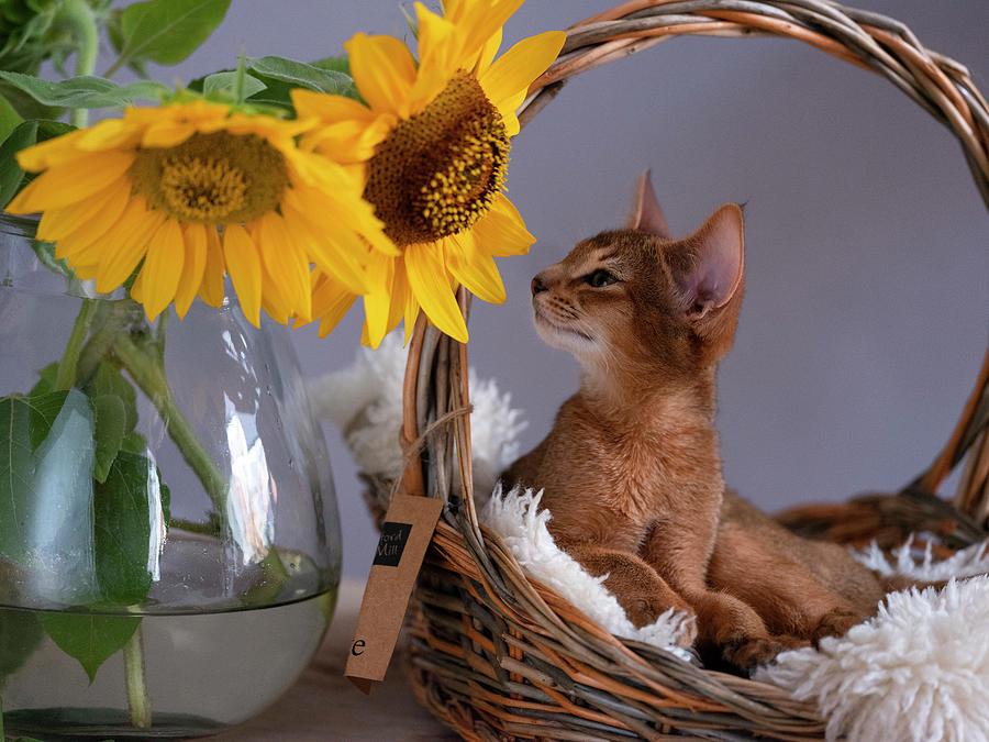 Abyssinian Kitten Relaxing In Her Basket Photograph