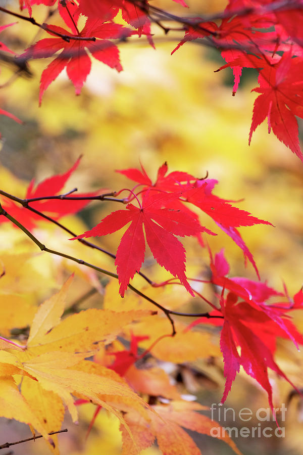 Acer Palmatum Photograph - Acer Amoenum Red Foliage In Autumn by Tim Gainey