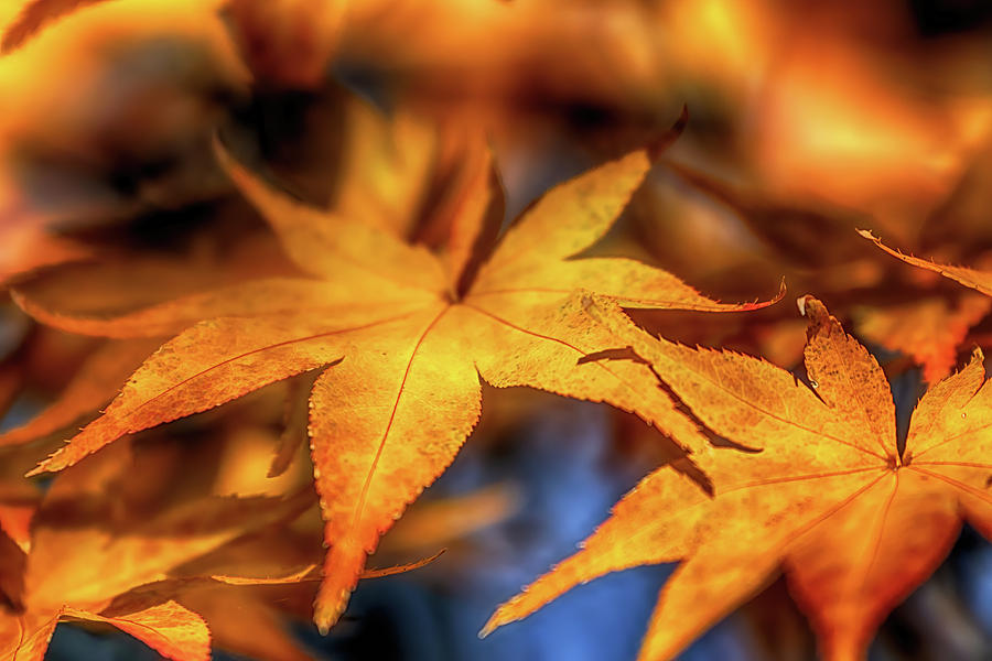 Acer in Autumn by Susan Rissi Tregoning