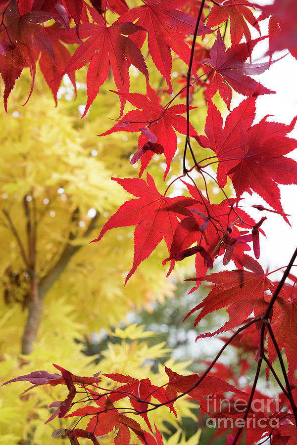 Acer Palmatum Atropurpureum Autumn Foliage by Tim Gainey