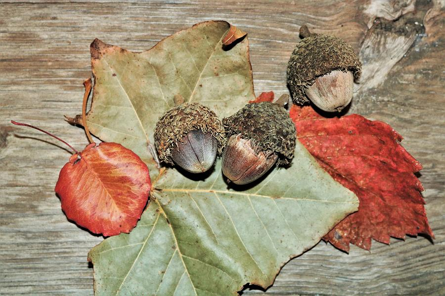 Acorns and Autumn Leaves  by Sheila Brown