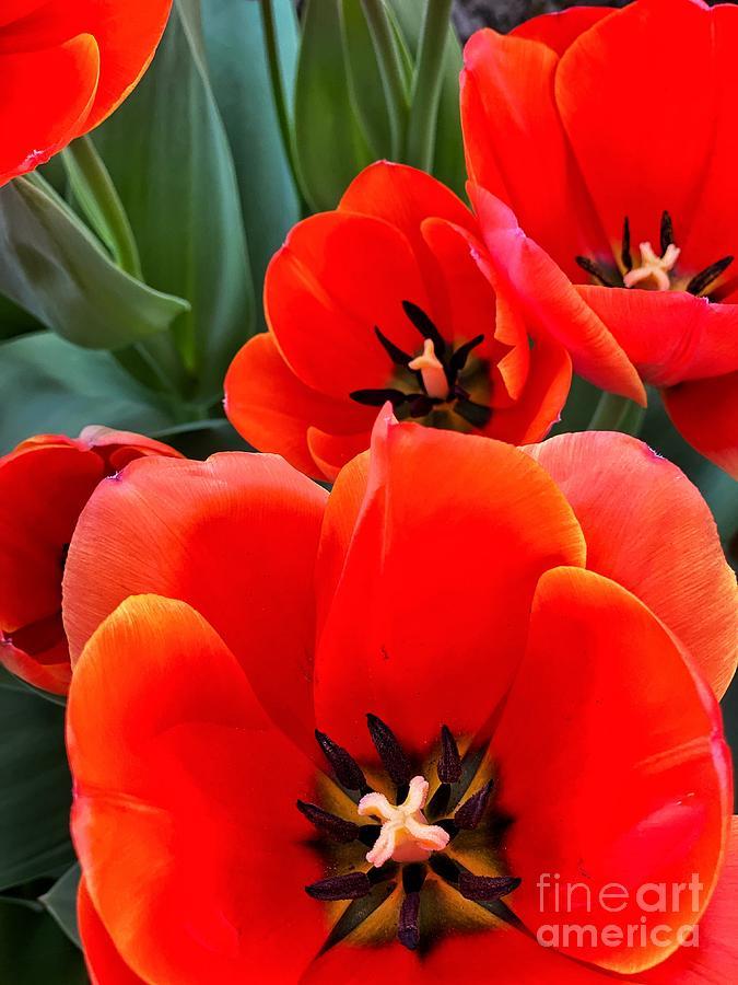 Ad Rem Tulips Photograph