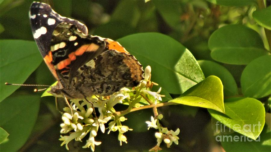 Admiral Butterfly On Bush Blooms June Indiana Photograph ...